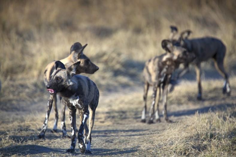 African-Wild-Dog-Pack-Kruger-Park